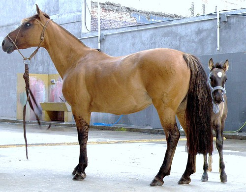 Criollo Horse Info Origin History Pictures Horse