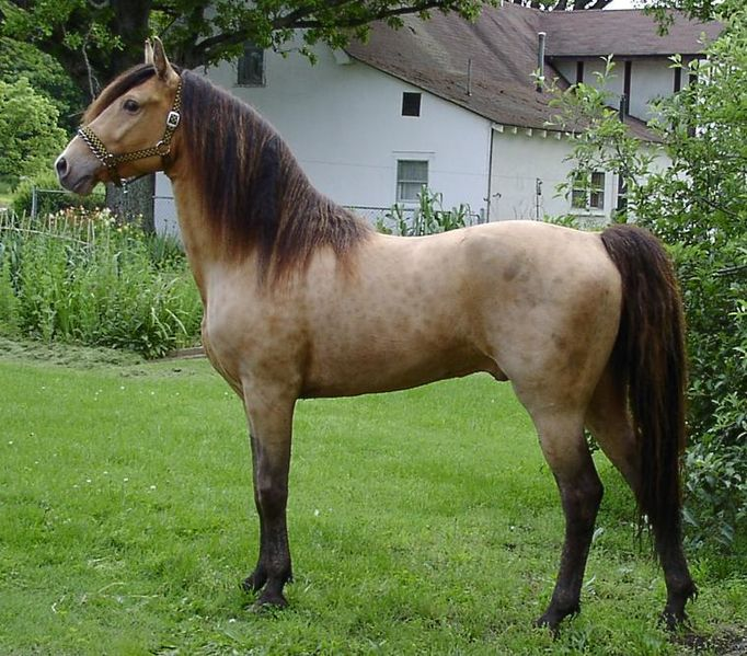 Criollo-Horse-Images.jpg