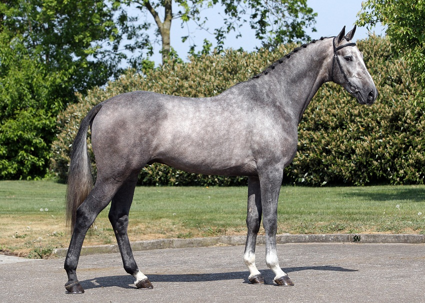 Dutch Warmblood Horse Info Origin History Pictures