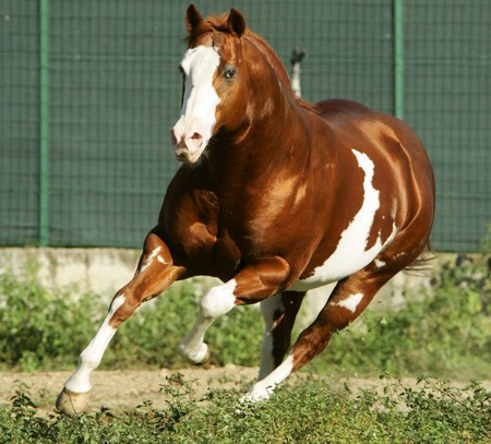 american paint horse stallion american paint horse tobiano american ...