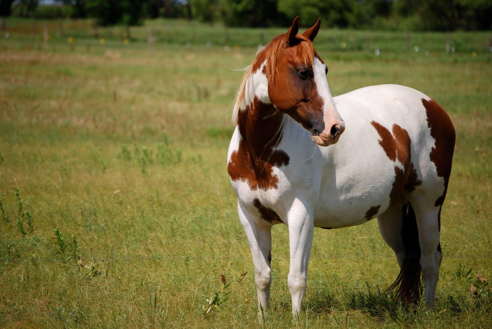 American Paint Horse Wallpaper