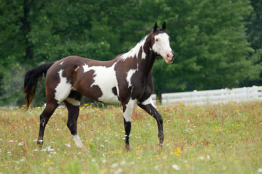 American Paint Horses For Sale In Texas