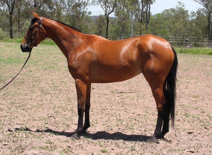 Australian Stock Horse Info, Origin, History, Pictures ... Pictures Of Horses