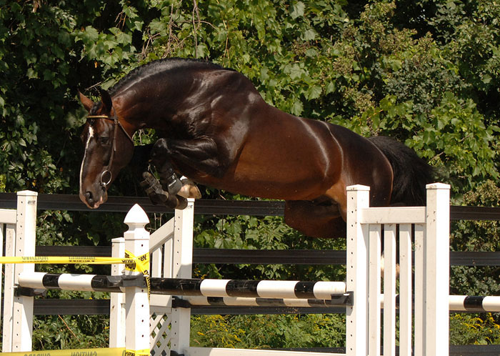 Belgian Warmblood Horse Info, Origin, History, Pictures ... Belgian Chocolate Brands