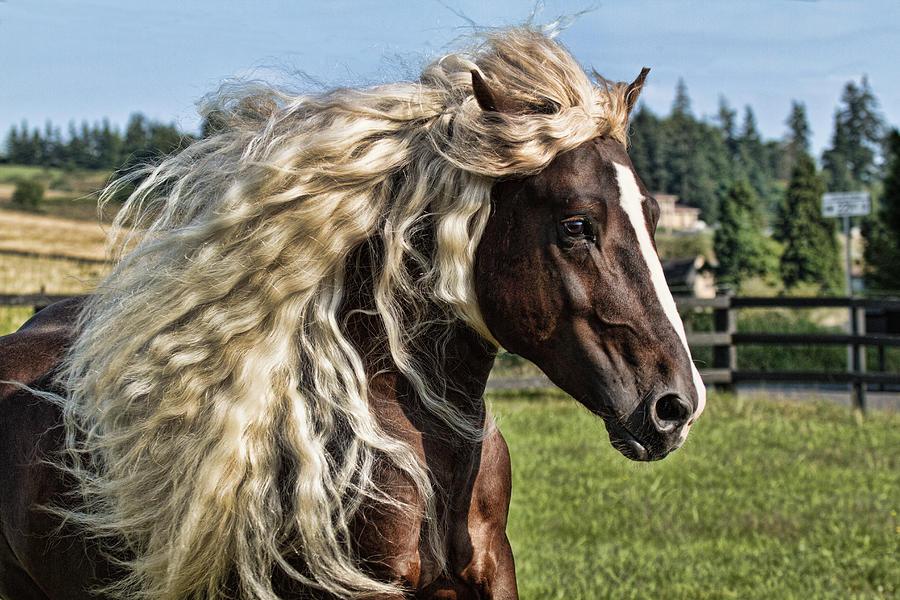 Draft Horse Breeds List Black Forest Horse Inf...