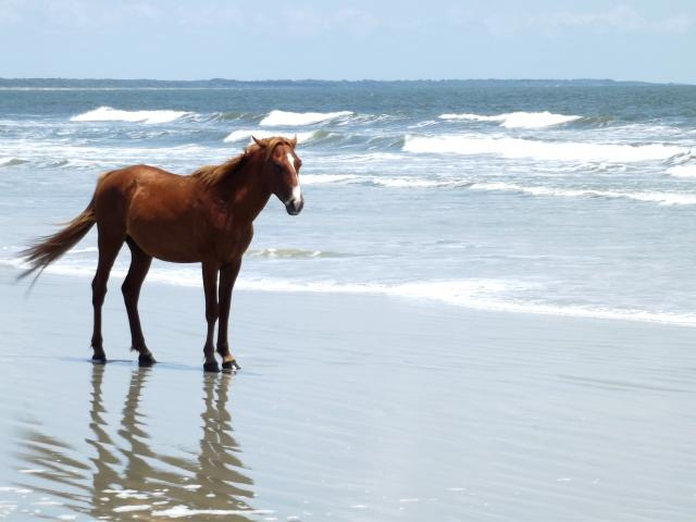 Cumberland Island Horse Info Origin History Pictures