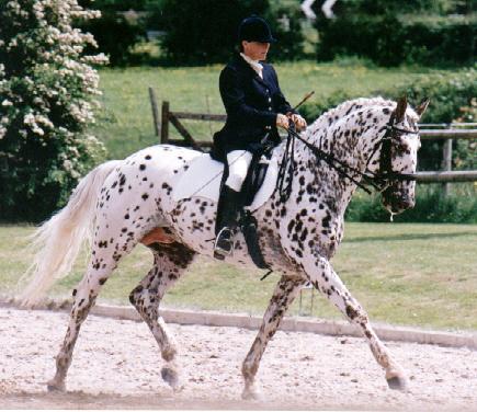 Knabstrupper Horse Info, Origin, History, Pictures   Horse ...   435 x 376 jpeg 226kB
