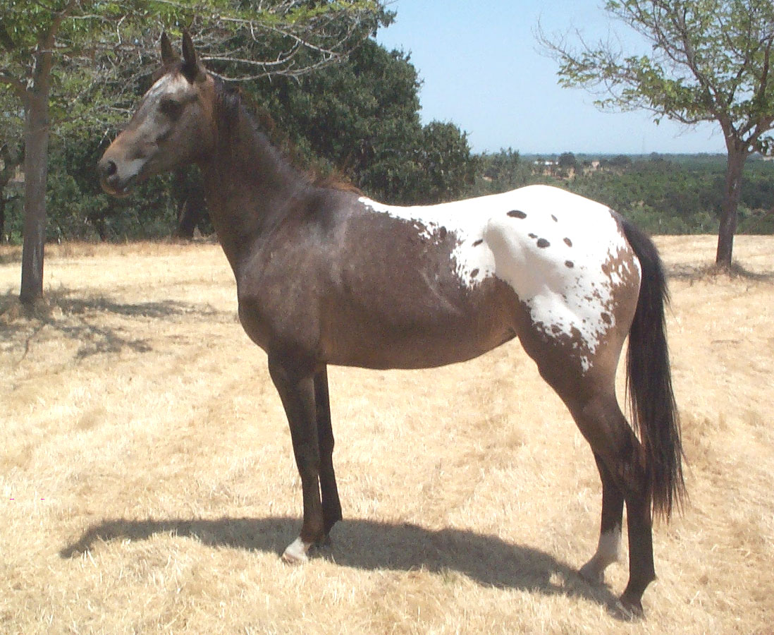 Horse Appaloosa: description, features of the breed, breeding 19