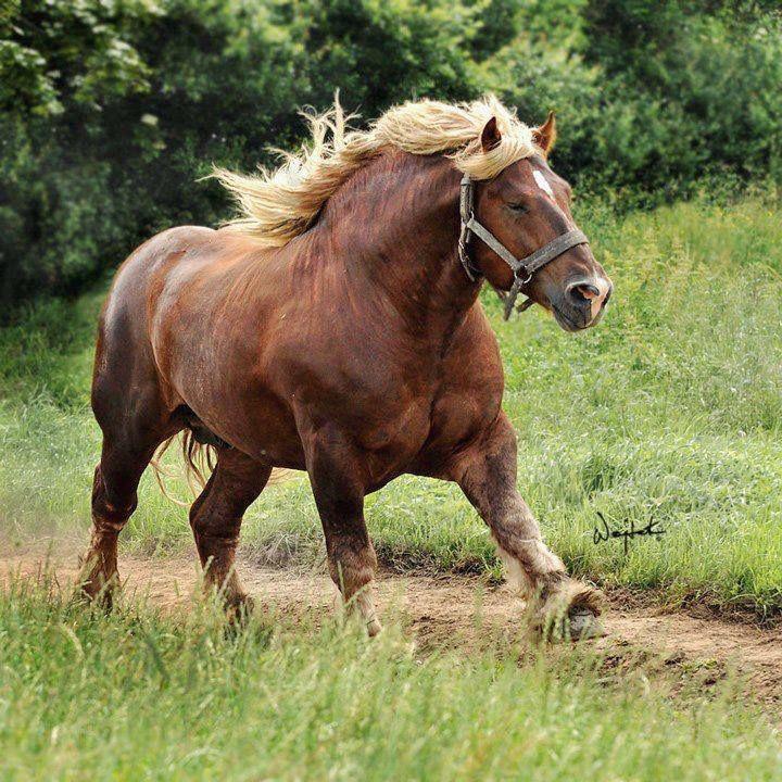 Jutland Horse Info, Origin, History, Pictures   Horse