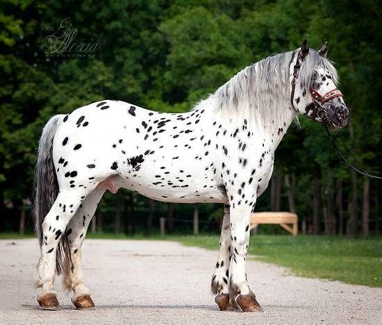Leopard Noriker Horse