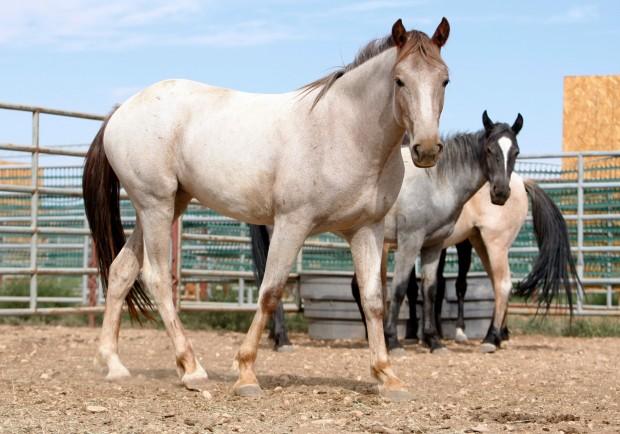Pryor Mountain Mustang Horse Info Origin History