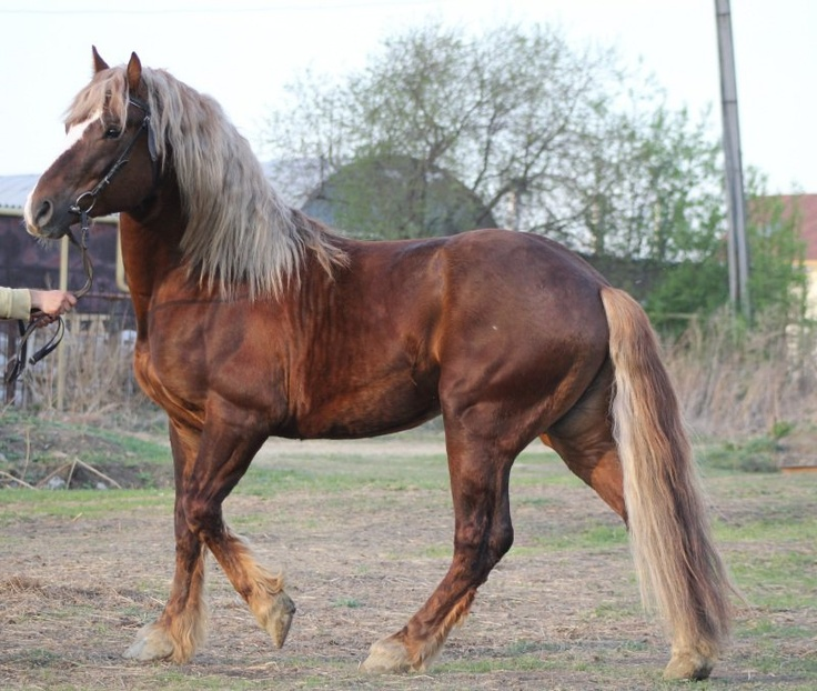 Russian Heavy Draft Horse Info, Origin, History, Pictures ...