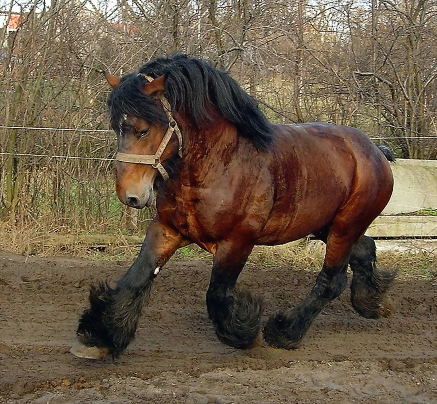 Belgian Draft Horse Info, Origin, History, Pictures | Horse Breeds ...