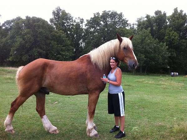 Belgian Draft Horse Info, Origin, History, Pictures ...