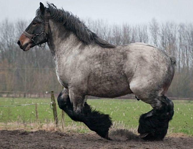 Draft Horse Breeds List Belgian Draft Horse In...