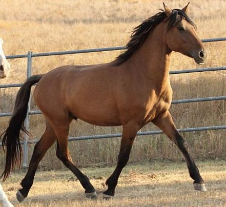 Kiger Mustang Horse Info Origin History Pictures