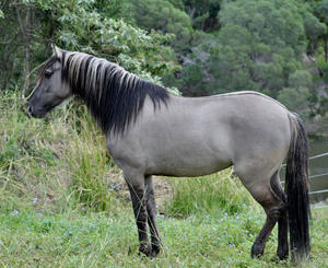 Spanish Mustang Horse Info Origin History Pictures