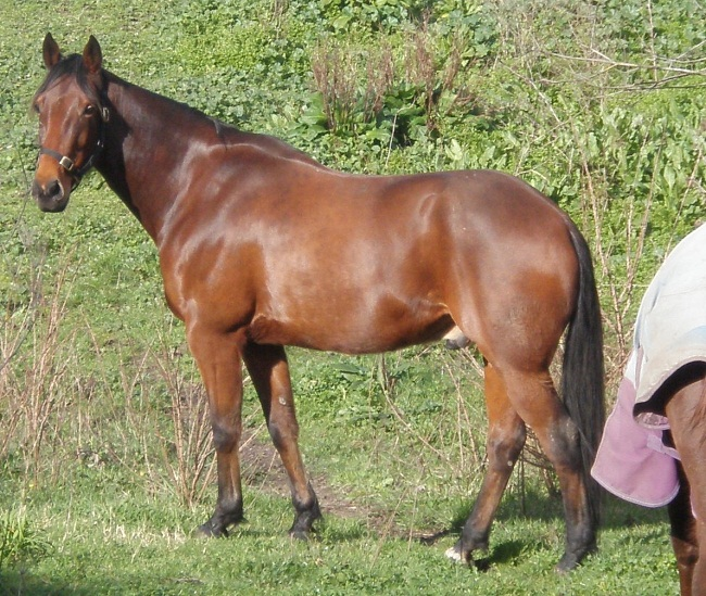 Standardbred Horse Info Origin History Pictures Horse