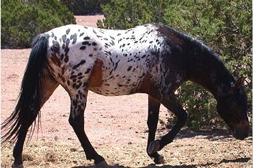 Tiger horse breed - photo#6