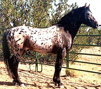 Tiger horse breed - photo#8