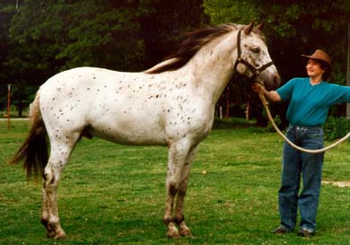 Tiger horse breed - photo#18