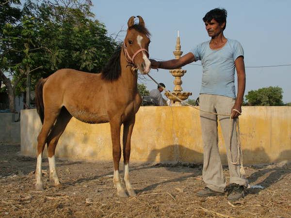Kathiawari Horse Info, Origin, History, Pictures | Horse ... | 600 x 450 jpeg 50kB