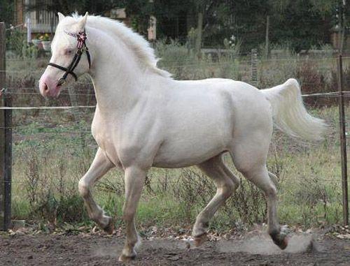 Australian Pony Information, Origin, History, Pictures ... | 500 x 381 jpeg 40kB