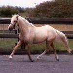Sandalwood Pony