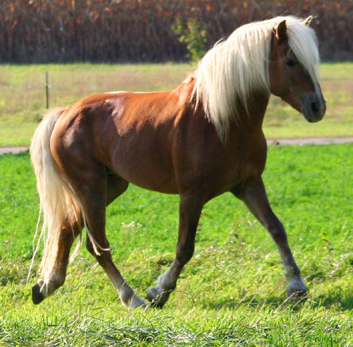 Haflinger-Stallion.jpg