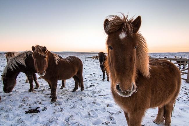 http://www.horsebreedspictures.com/wp-content/uploads/2017/04/Iceland-Horses.jpg