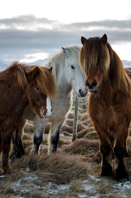 Icelandic Horse Facts Origin History Gaits Pictures