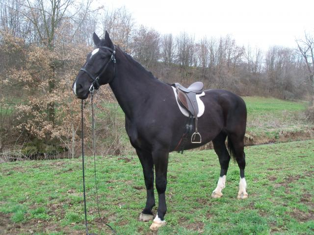 Dutch Harness Horse Breed Information  History  Videos