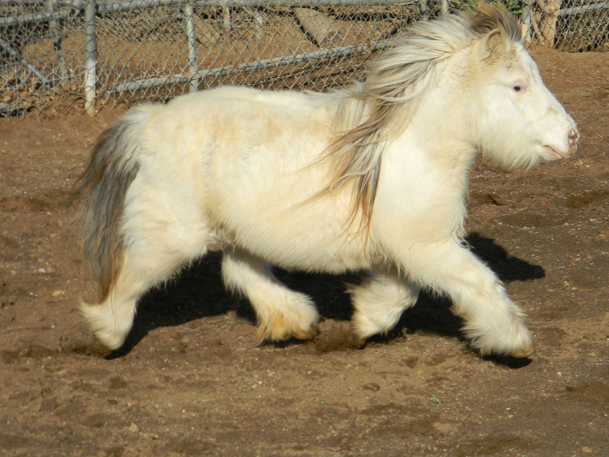 American Miniature Horse Breed Information, History ...