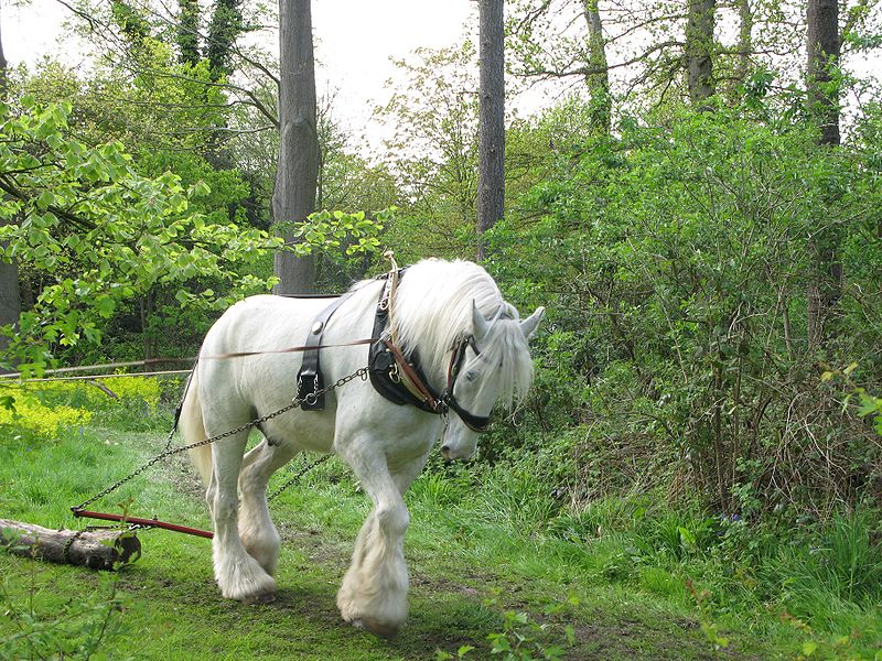 Photos-of-Shire-Horses.jpg