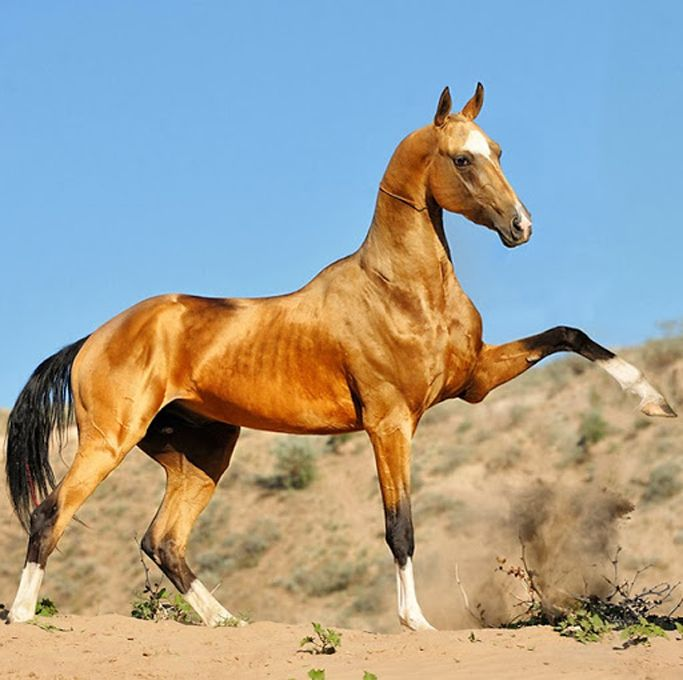 Akhal Teke Horse Info Colors Temperament History