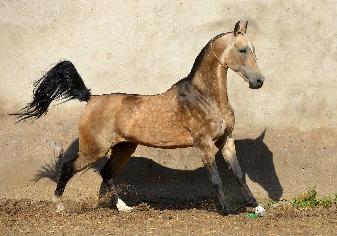 akhal teke horse info colors temperament history