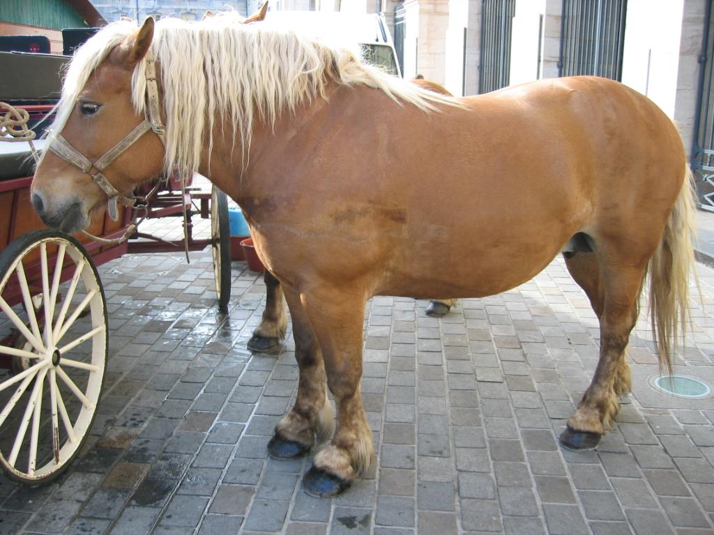 Comtois Horse Info, Origin, History, Pictures | Horse ... - photo#41