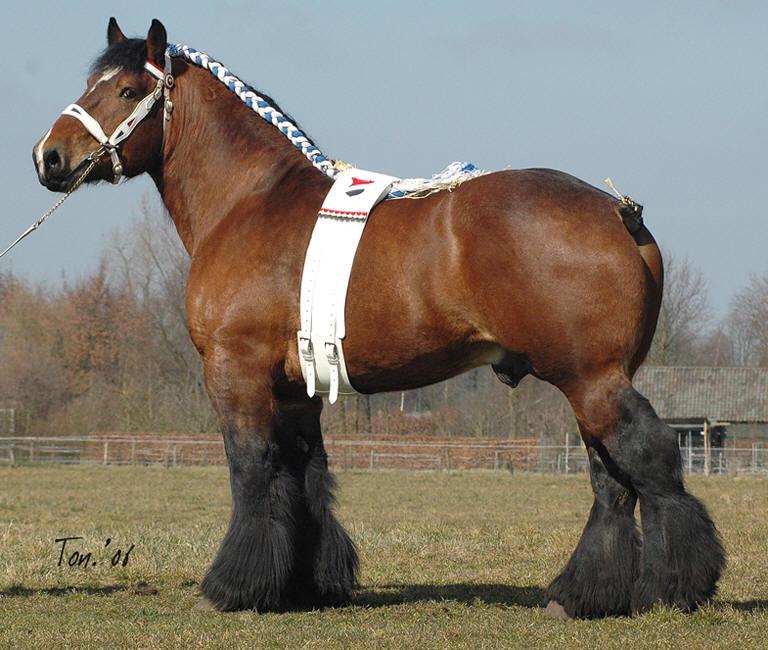 Draft Horse Breeds List Dutch Draft Horse Info...