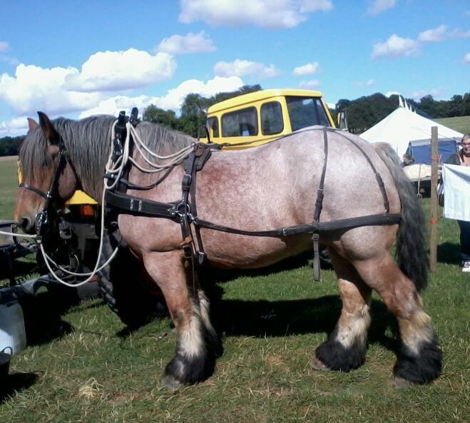 Dutch Draft Horse Info, Origin, History, Pictures