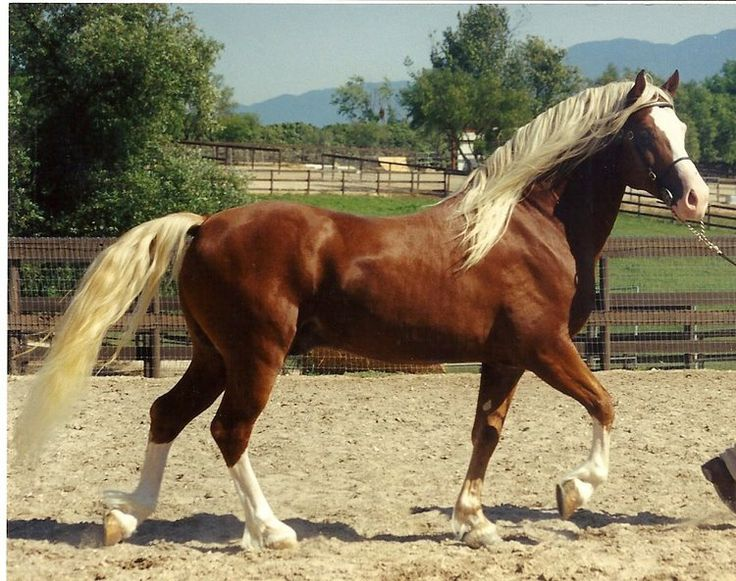 Salernitano Horse