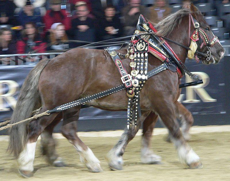 Italian Heavy Draft Horse Breed Information History