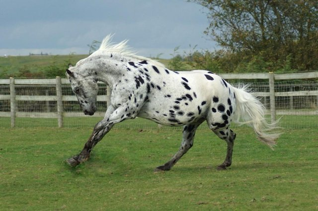 appaloosa horse breed information history videos pictures horse