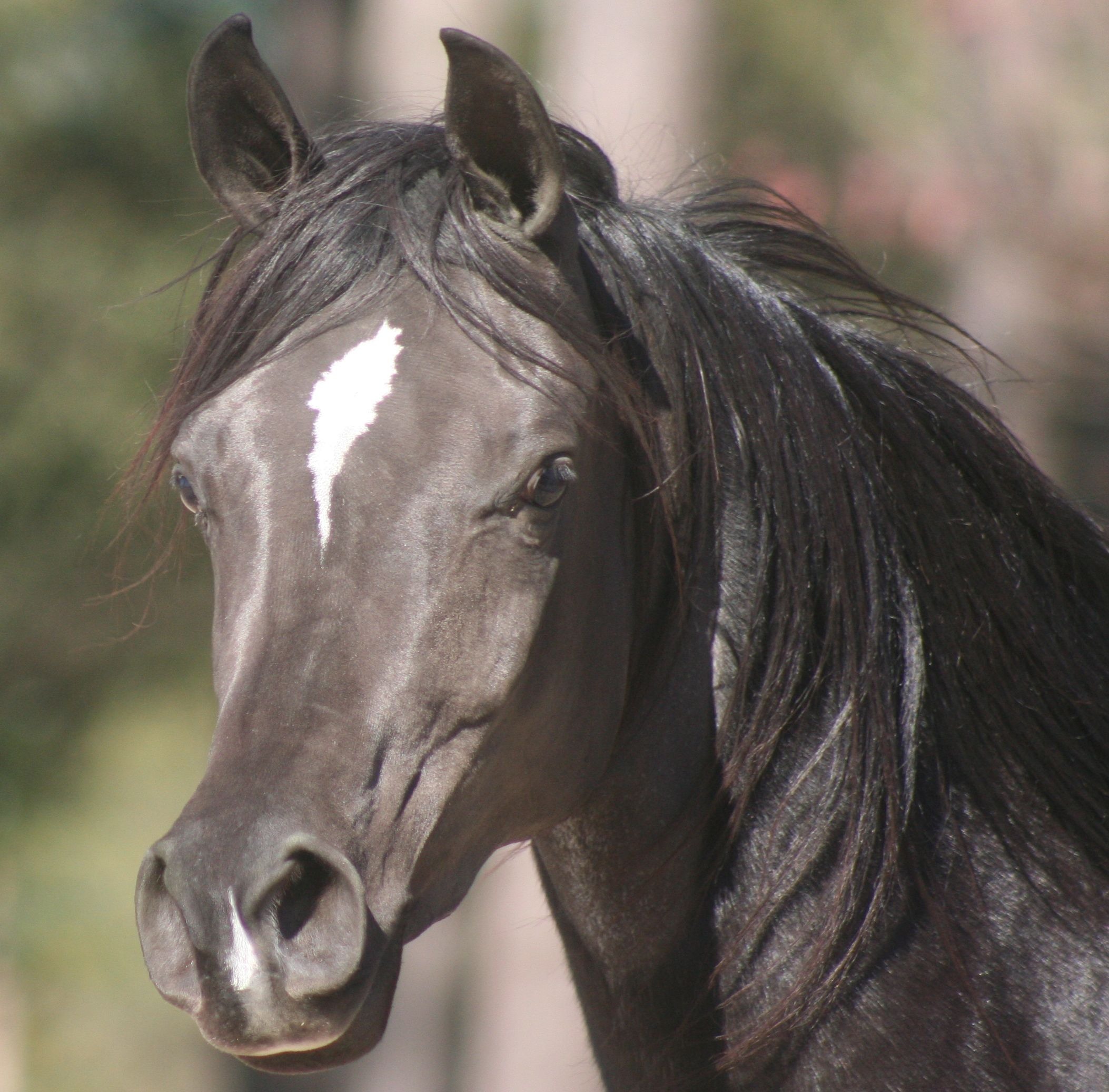 Arabian horse breed information history videos pictures - Arabian horse pictures ...
