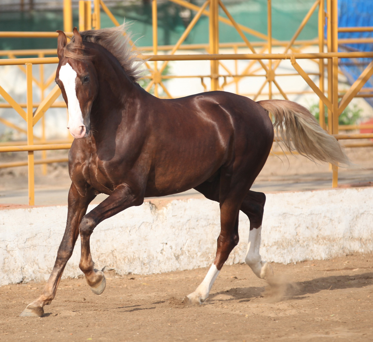 Marwari Horse Breed Information, History, Videos, Pictures ... - photo#5