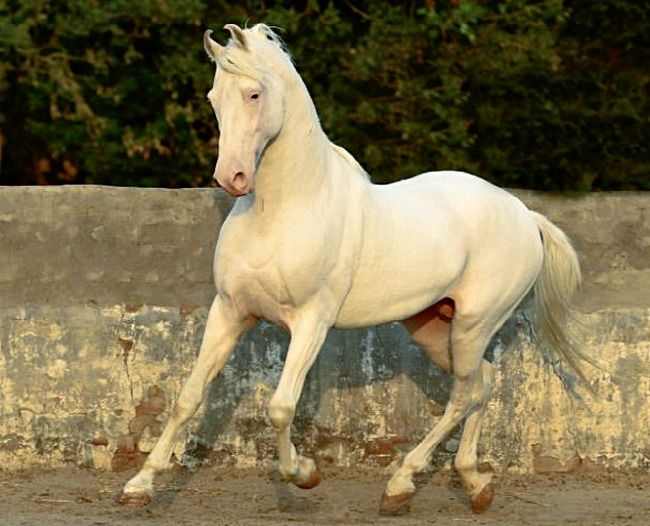 Rare Horse Coats Marwari Horse Breed In...