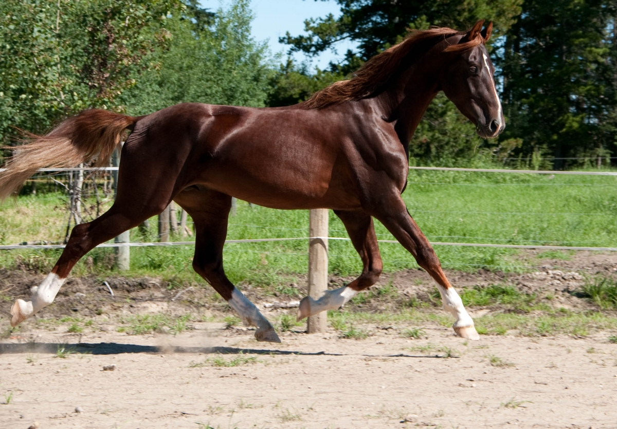 American Saddlebred Horse Pictures