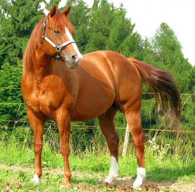 The Inside Scoop On American Quarter Horse | Pets Nurturing