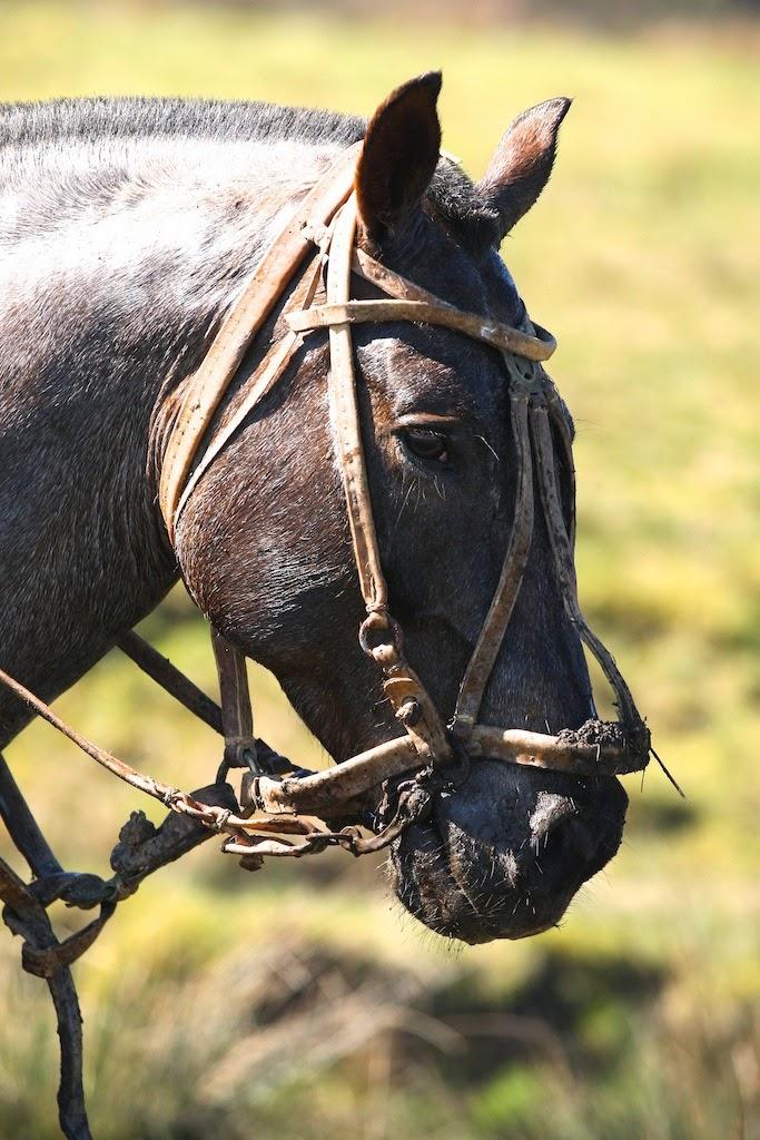Criollo Horse Info Origin History Pictures