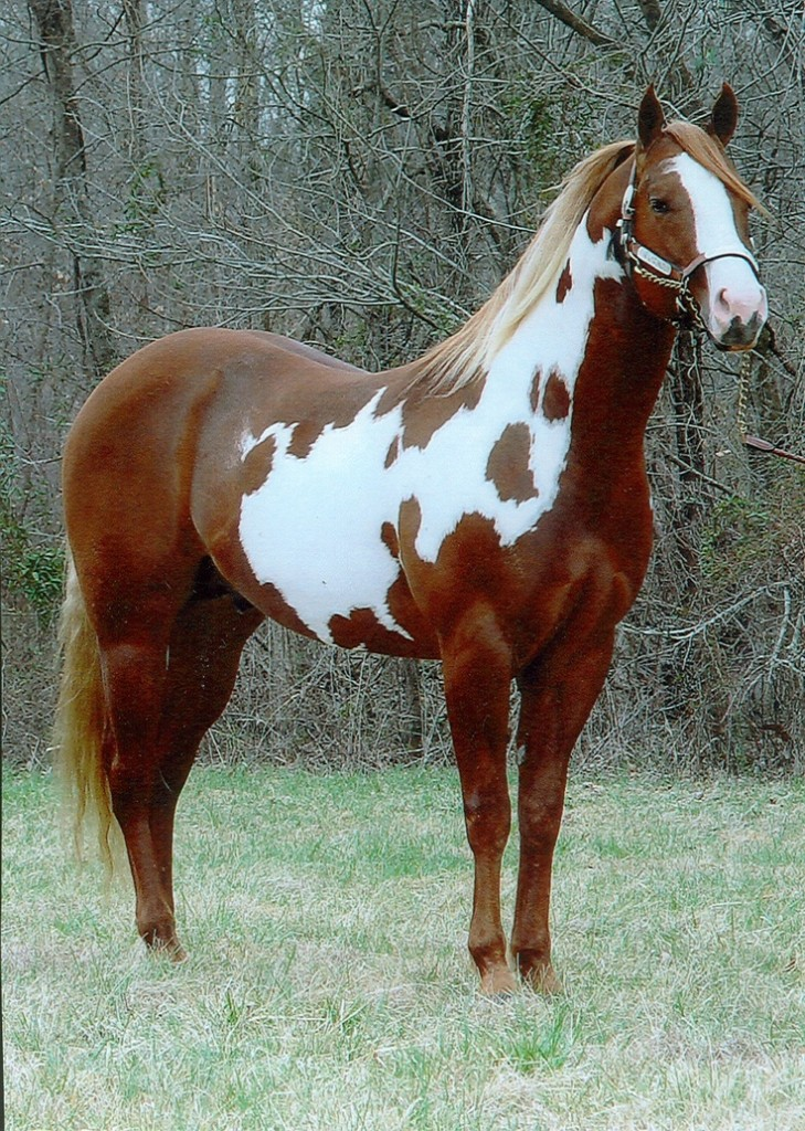 American Paint Horse Info Origin History Pictures