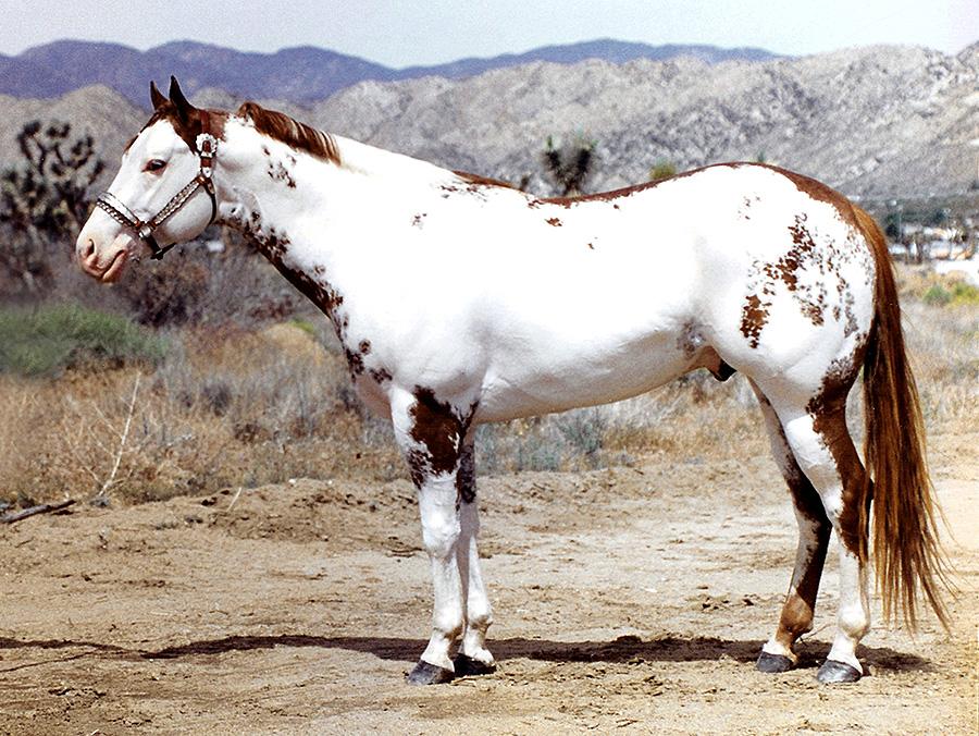 Black Paint Stallion For Sale
